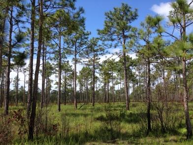Longleaf Pines